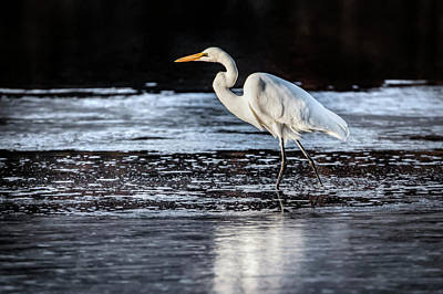 Photograph - Ice Water Egret by Ray Congrove