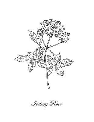 Roses Drawings - Iceberg Rose. Botanical by Masha Batkova
