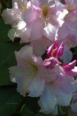 Photograph - Icecream Rhododendrons by Jeanette C Landstrom
