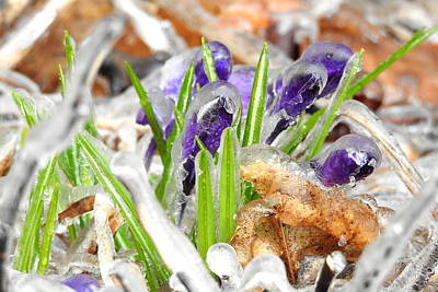 Photograph - Iced Crocuses by Betty-Anne McDonald