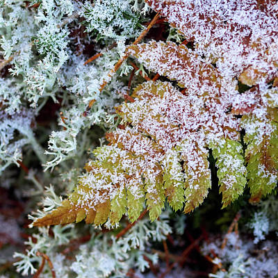 Photograph - Iced Fern by Jouko Lehto