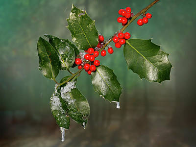 Photograph - Iced Holly - 365 - 294 by Inge Riis McDonald