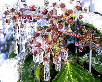 Photograph - Iced Ivy by Will Borden