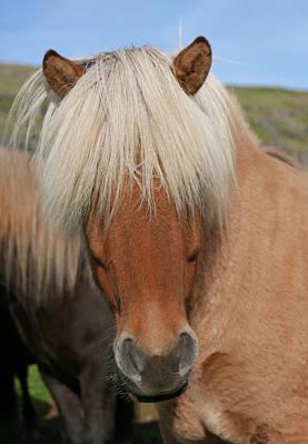 Photograph - Iceland Horse Closeup by Jack Nevitt
