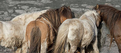 Iceland Horse Wall Art - Photograph - Iceland Lazy Morning Feeding Time by Betsy Knapp