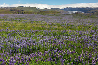 Photograph - Iceland Lupin Landscape - 1678,s by Wally Hampton