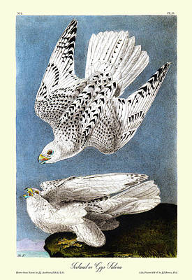 Gyr Falcon Painting - Iceland Or Gyr Falcon Audubon Birds Of America 1st Edition 1840 Royal Octavo Plate 19 by Orchard Arts