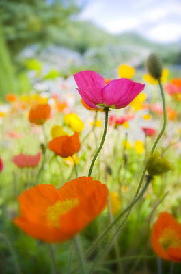 Decorativ Photograph - Iceland Poppies by Silke Magino