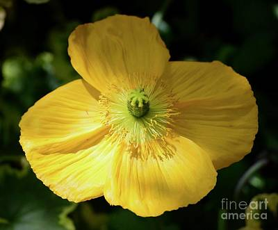 Photograph - Iceland Poppy by Jeannie Rhode