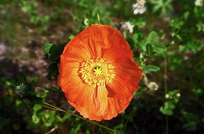 Art Print featuring the photograph Iceland Poppy by Sally Weigand