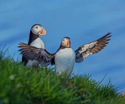 Puffin Wall Art - Photograph - Iceland Puffin Paradise by Betsy Knapp