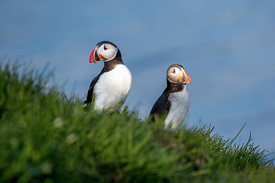 Iceland Puffins By The Sea Art Print