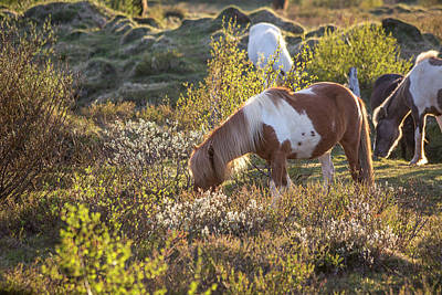Pleasure Horse Photograph - Iceland Tranquil Equine Sunlight by Betsy Knapp