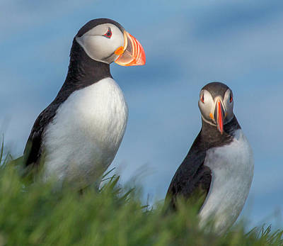 Puffin Wall Art - Photograph - Iceland Puffins  by Betsy Knapp
