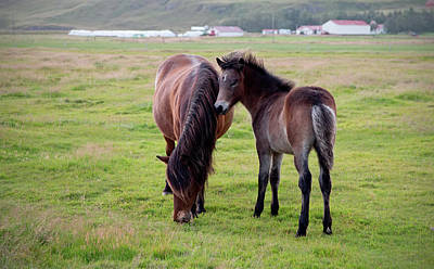 Photograph - Icelandic Colt And Mom by Jack Nevitt