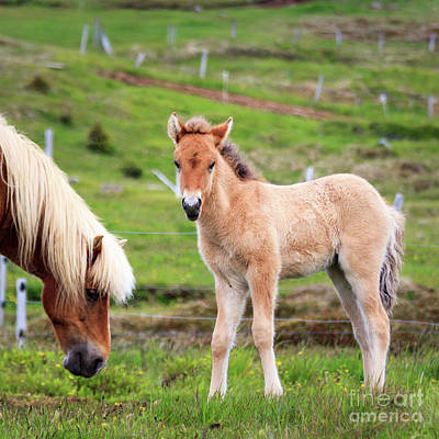 Photograph - Icelandic Foal by Silken Photography
