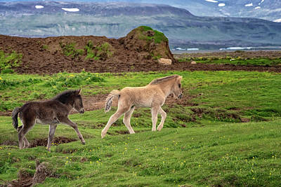 Photograph - Icelandic Foals by Tom Singleton