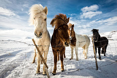 Horses Photograph - Icelandic Hair Style by Mike Leske