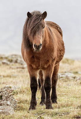Photograph - Icelandic Horse 1 by Jerry Fornarotto