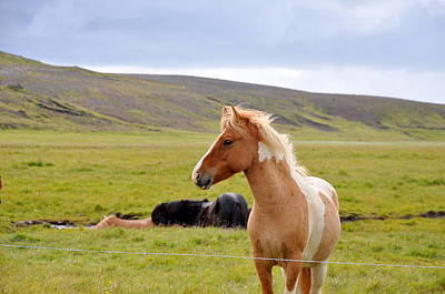 Photograph - Icelandic Horse by Ambika Jhunjhunwala