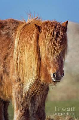 Long Mane Photograph - Icelandic Horse by Angela Doelling AD DESIGN Photo and PhotoArt