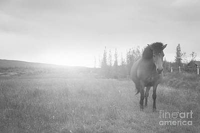 Vintage Pharmacy Royalty Free Images - Icelandic Horse BW Royalty-Free Image by Michael Ver Sprill