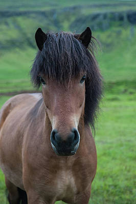 Animals Photos - Icelandic horse photography by Greg Wyatt