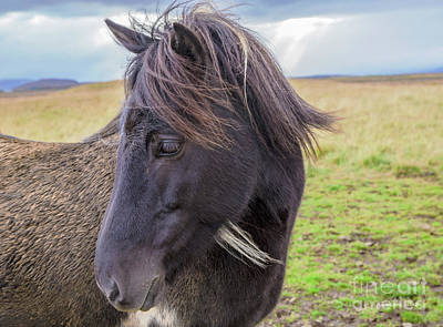 Photograph - Icelandic Horse - Head by Gordon Wood