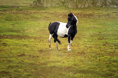 Photograph - Icelandic Horse II by Tom Singleton