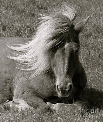 Photograph - Icelandic Horse by Louise Fahy