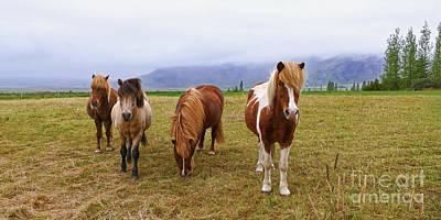 Photograph - Icelandic Horse Quartet by Catherine Sherman