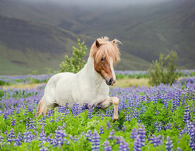White Stallion Photograph - Icelandic Horse Running In Lupine by Panoramic Images