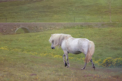 Photograph - Icelandic Horse by Tom Singleton