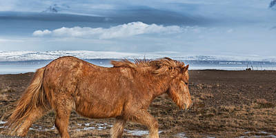 Fury Photograph - Icelandic Horse With Winter Fur, Iceland by Panoramic Images