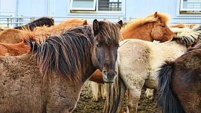 Photograph - Icelandic Horses # 1 by Allen Beatty