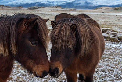 Icelandic Horses Couple Art Print by Scott Cunningham