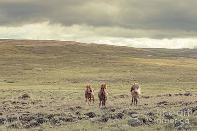 Photograph - Icelandic Horses by Edward Fielding