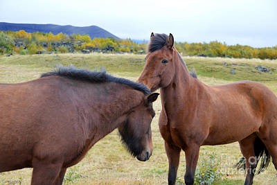 Photograph - Icelandic Horses Greet Each Other by Catherine Sherman