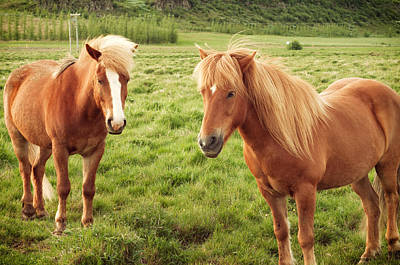 Photograph - Icelandic Horses by Michelle Lee