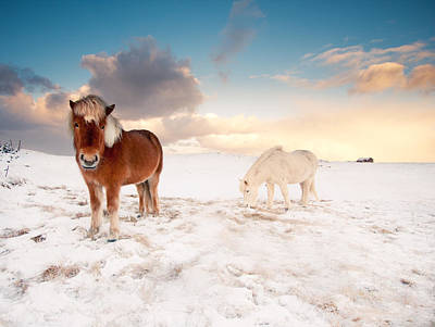 Icelandic Horses On Winter Day Print by Ingólfur Bjargmundsson