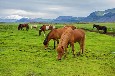 Photograph - Icelandic Horses by Venetia Featherstone-Witty