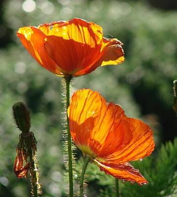 Ojai Wall Art - Photograph - Icelandic Poppies by Liz Vernand