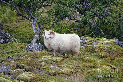 Photograph - Icelandic Ram by Catherine Sherman