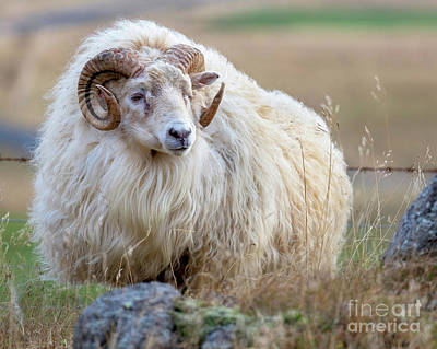 Photograph - Icelandic Ram by Jerry Fornarotto