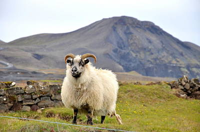 Photograph - Icelandic Sheep by Ambika Jhunjhunwala