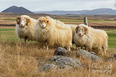 Photograph - Icelandic Sheep by Jerry Fornarotto