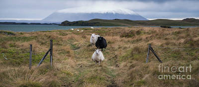 Photograph - Icelandic Sheep Panorama by Michael Ver Sprill