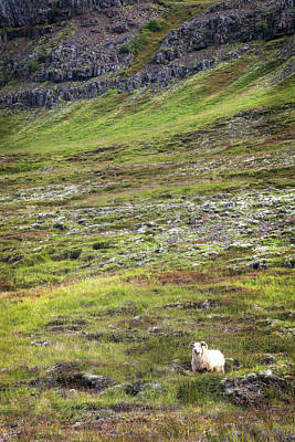 Photograph - Icelandic Sheep Tundra by Dave Dilli
