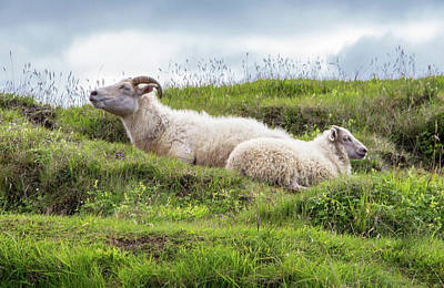 Photograph - Icelandic Sheep by Venetia Featherstone-Witty