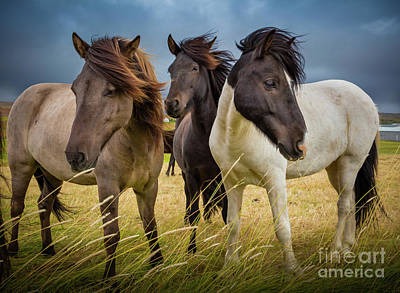 Iceland Horse Wall Art - Photograph - Icelandic Trio by Inge Johnsson